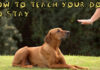 How to teach your dog to stay command
